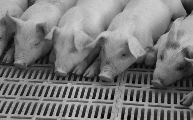 nutrición y servicios para la producción porcina y avícola